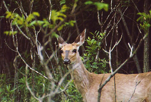 Public complaints of urban deer on the eastside of Syracuse spiked in 2012.